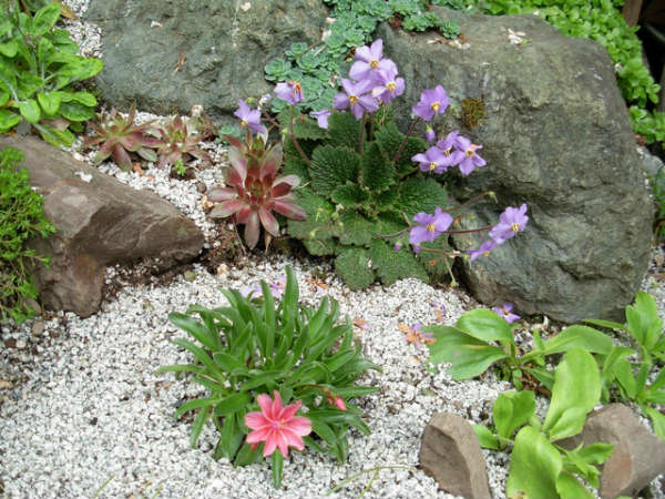 little-rock-garden-Ramonda-and-Lewisia