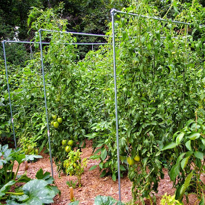 Trellised-tomatoes_03