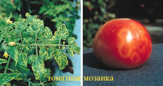 томатная мозаика
