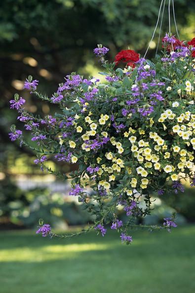 Ампельные цветы для кашпо: названия и фото 78