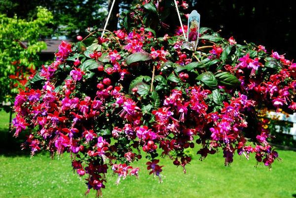 Ампельные растения для дома и сада. Фото.